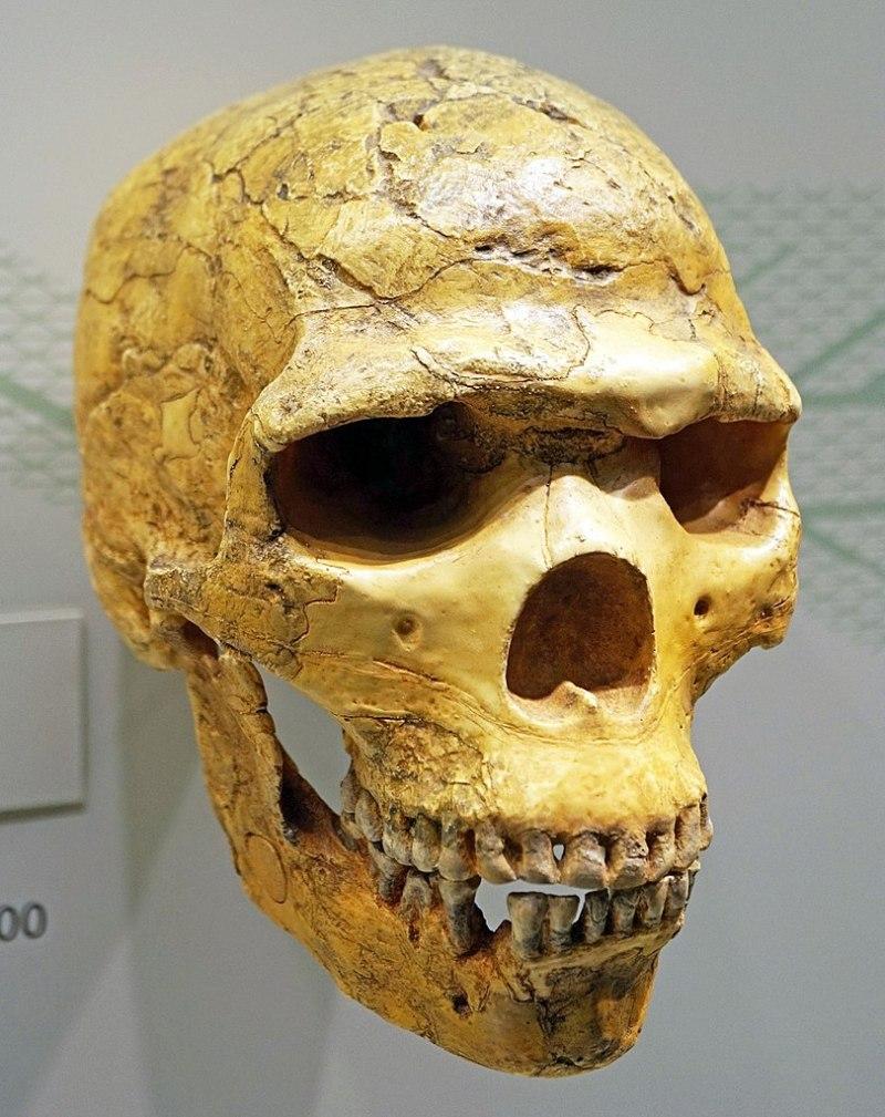 812px-Homo_neanderthalensis_skull