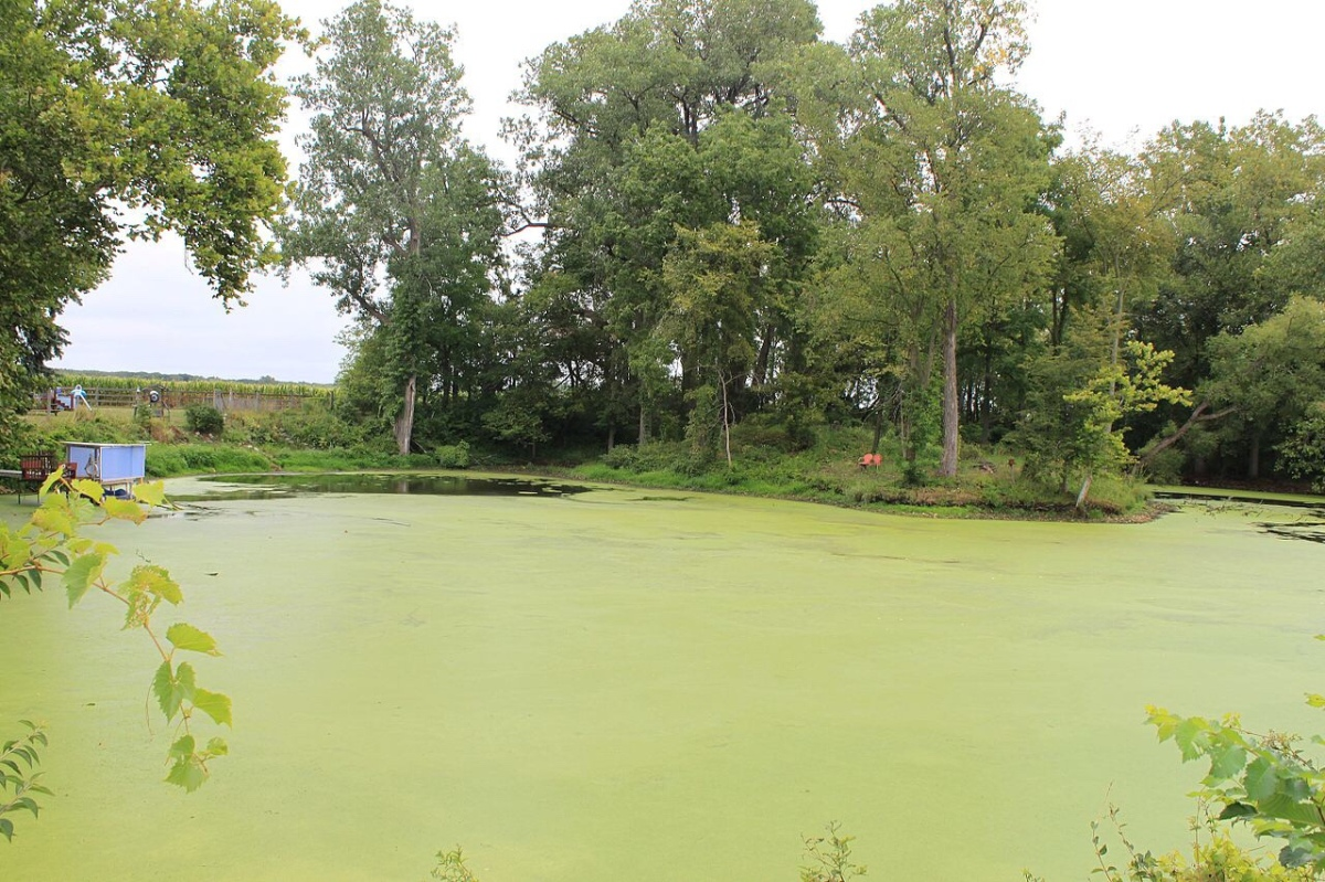 Algal Blooms Harm The Environment By Releasing Toxins