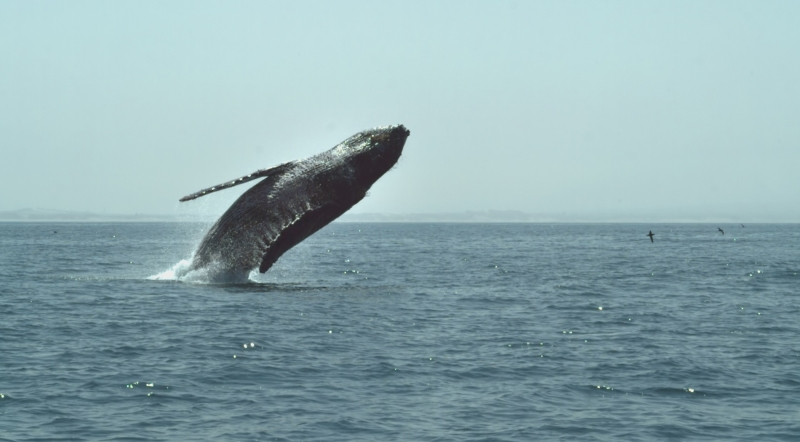 Natural World_Humpback Whale - A Detective Story