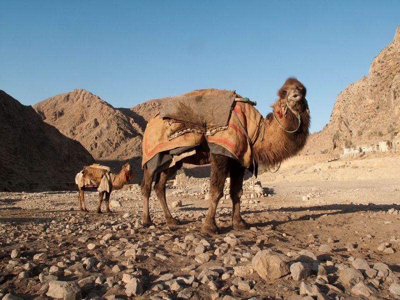 1280px-dromedary_camel_28530086392429
