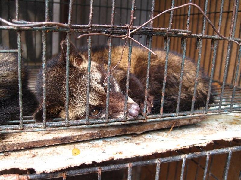 1280px-luwak_28civet_cat29_in_cage